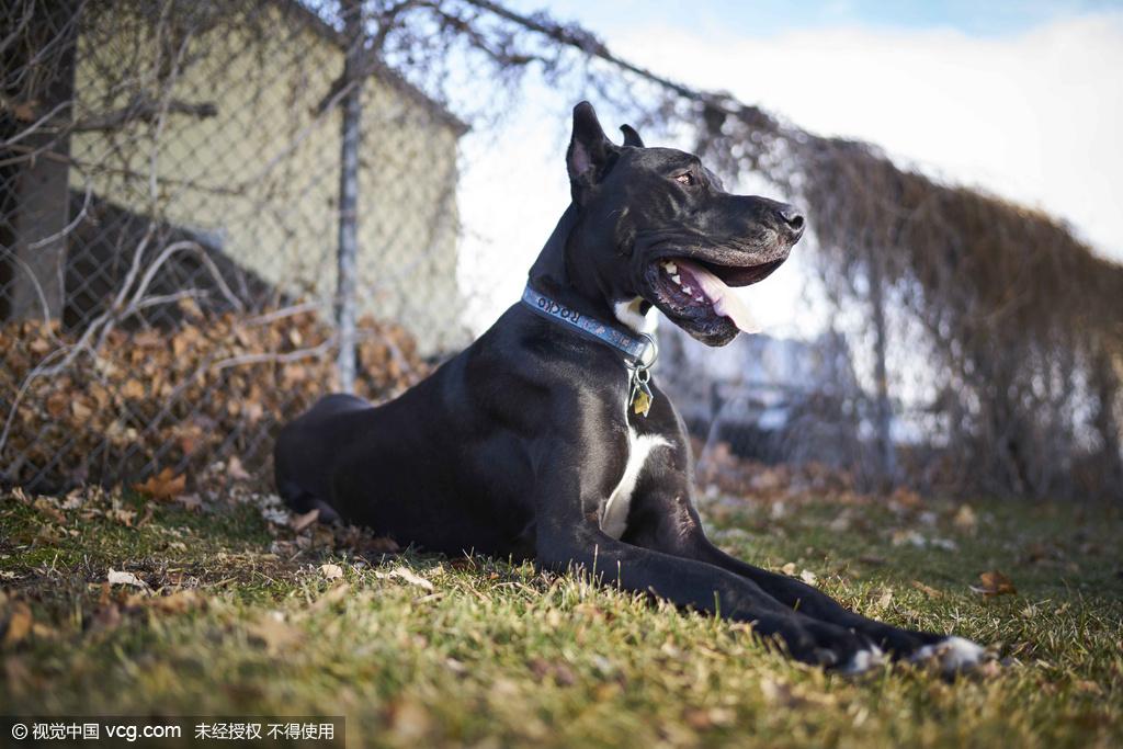 """目前已知最高的狗狗,并即将申请吉尼斯世界纪录""""世界最高狗""""的"""