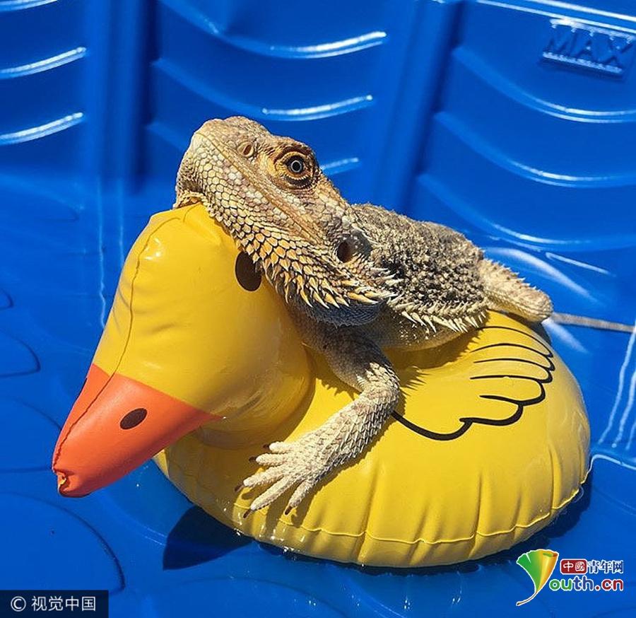 2017年7月21日,史矛革(Smaug)是一只变色蜥蜴,它现在的主人Charlotte Birch 4年前收留了它,这个爹不疼妈不爱的蜥蜴拥有了新的幸福生活。不像《霍比特人》里的史矛革,这个史矛革性格开朗,它喜欢四处闲晃玩耍,也能跟家里的宠物打成一片。Charlotte Birch 为史矛革开了自己的ins账户,如今,凭借着它天然爱笑的脸,它也成为了拥有4000粉丝的小小网红了。