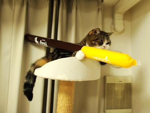 超可爱 看短腿折耳小猫的卖萌表演