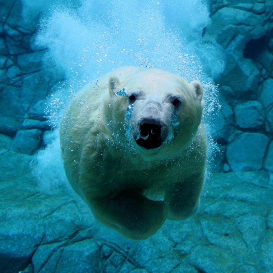 刘飞                 美可爱北极熊宝宝踩水桶秀平衡力 北极熊萌图欣