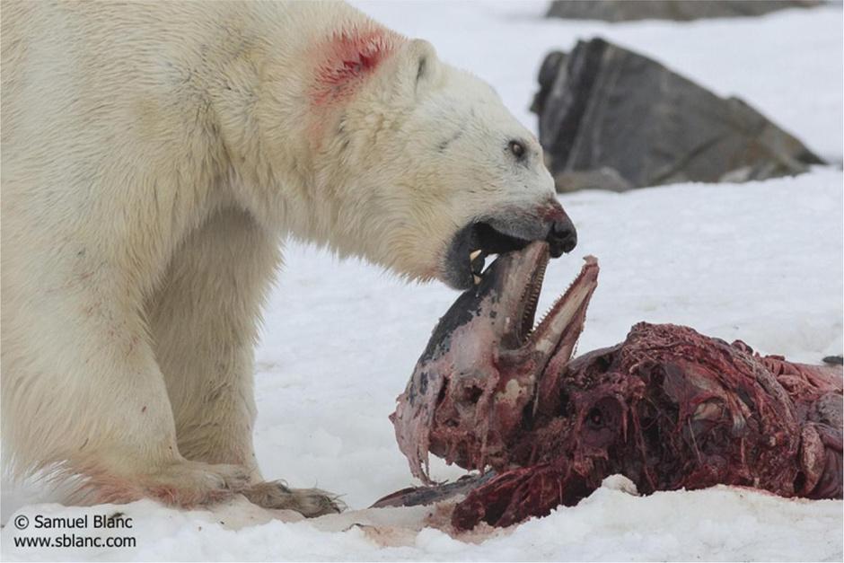 谁饿瘦了大白?摄影师拍北极熊骨瘦如柴照