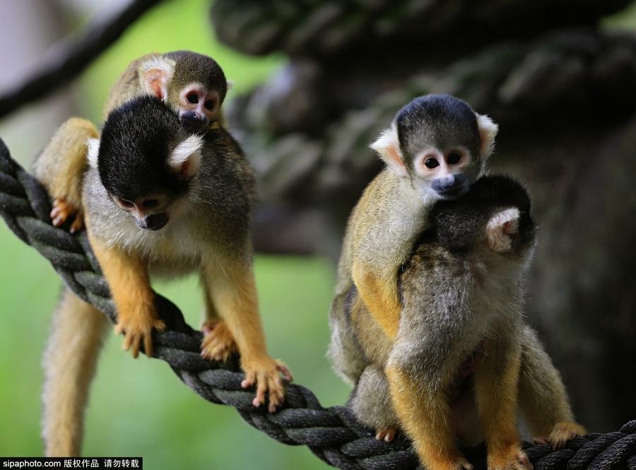 澳大利亚悉尼,塔隆加动物园内,松鼠猴妈妈走到哪都背着小猴幼崽.