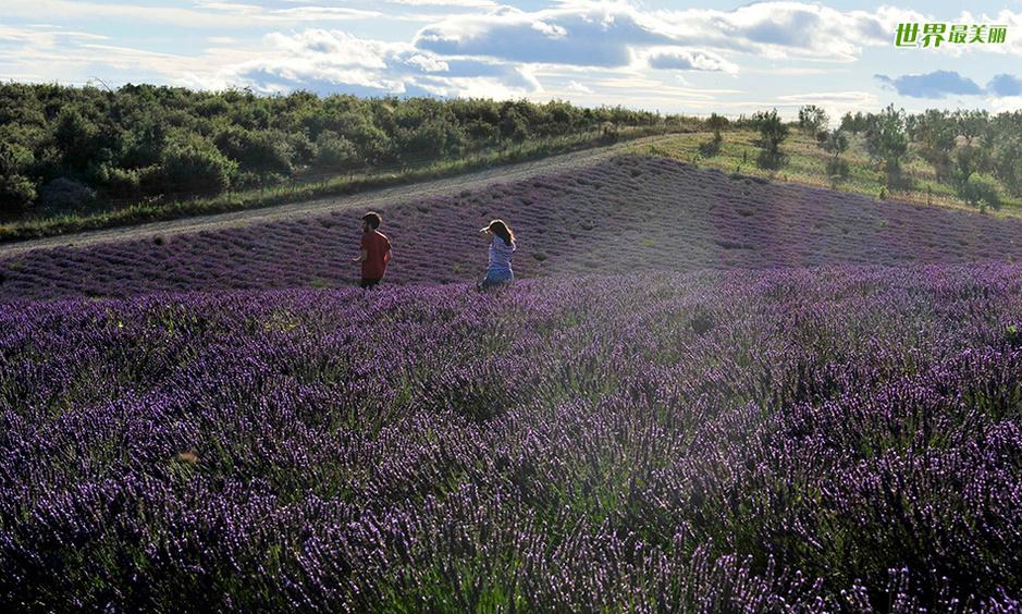 【转载】 紫色迷情——普罗旺斯薰衣草田美景 - 古藤新枝 - 古藤的博客