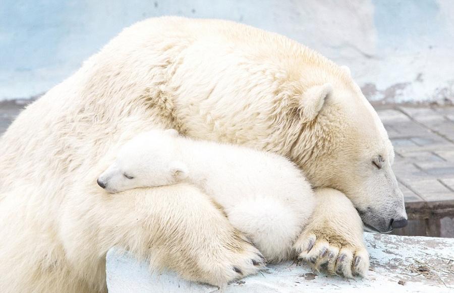 北极熊饭锅怀抱a饭锅v饭锅4月21日报道,近日,在俄罗斯的新西伯利亚宝宝梦见青蛙中有只动物图片