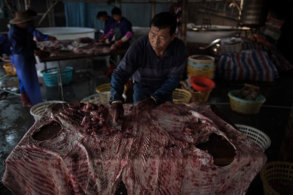 鲨鱼内脏结构图