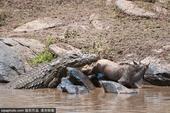 近日,在肯尼亚马赛马拉国家公园内,一只牛羚不幸被一只鳄鱼拖下水,经过残酷激烈的挣扎后,这只牛羚还是未...
