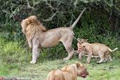 2019-08-24报道,坦桑尼亚恩杜图,一只可怜的小狮子躲在爸爸的身后,却出其不意的被爸爸的尿喷了...