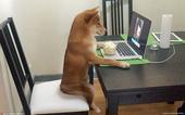 2021-05-12报道(具体拍摄时间不详),这只叫奇科(Chiko)的柴犬令所有人震惊,才7个月大...