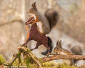 2019-10-17报道,这几只顽皮的小松鼠竟然学会了骑马?48岁的瑞典摄影师Geert Wegge...