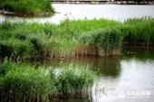 在大沽河流域,流淌千年的沽河水也孕育出了许多大大小小的湿地,在城市化进程日益加快的今天,这些...