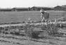 日裔美国人的一段农场岁月