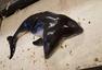 荷兰海岸惊现世界首例连体港湾鼠海豚